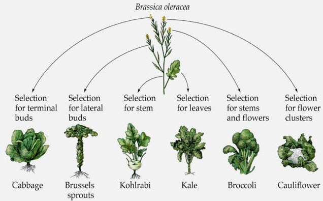 What is the origin of cauliflower