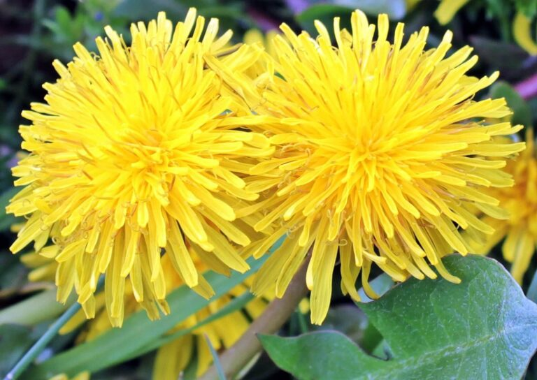 Cook with Dandelions